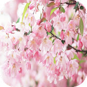 Sakura 3D Live Wallpaper