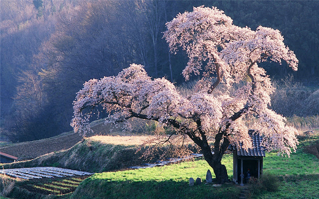 cherry blossom Theme & New Tab