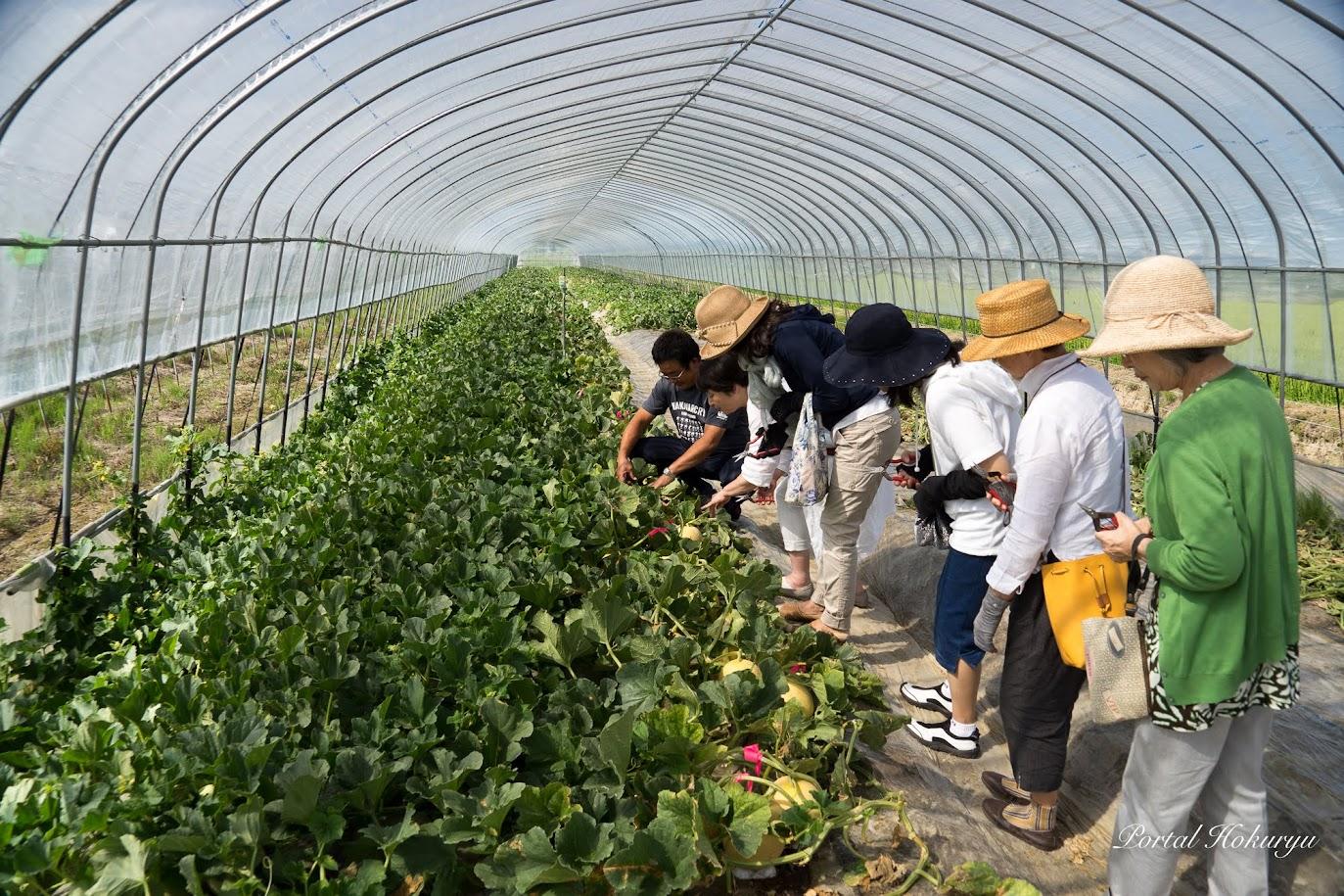 指導を受けながらメロン収穫体験