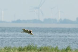 Photo: Short-eared Owl (Sumpfohreule); Langeoog, DE