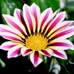 Flower by Jennifer Parmelee - Flowers Single Flower ( colors, peddles, gardens, places, flowers,  )