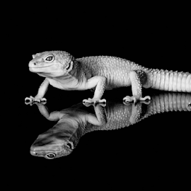 Leopard gecko by Garry Chisholm - Black & White Animals ( sigma, macro, leopard gecko, nature, workshop, reptile, lizard, canon, garry chisholm )
