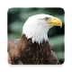 Download Eagle Wallpaper For PC Windows and Mac