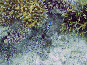 Photo: Novaculichthys taeniourus (Rockmover/Dragon Wrasse) being cleaned by a Cleaner Wrasse, Naigani Island, Fiji