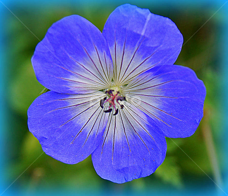 single flower geraniums)
