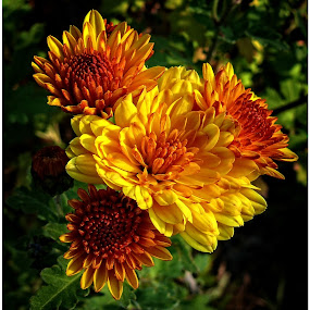 Chrysanthemums by Doreen L - Flowers Flower Gardens ( orange, chrysanthemums, yellow, flowers, garden,  )