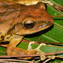 Spot-legged Tree Frog