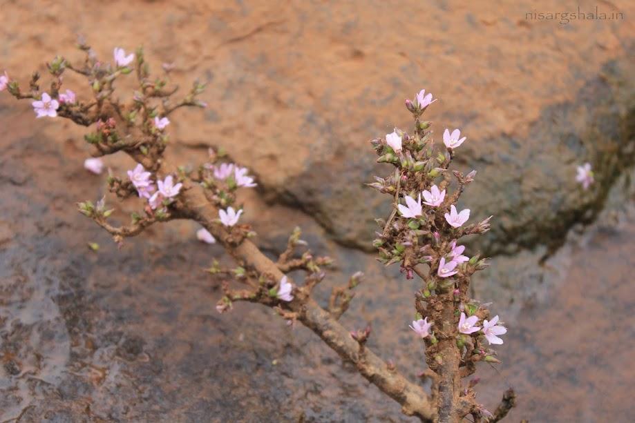 Flowering in Sahyadri @ Camping near Pune