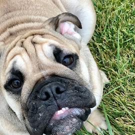 Omer by Leslie Hendrickson - Animals - Dogs Portraits ( bulldog dog )