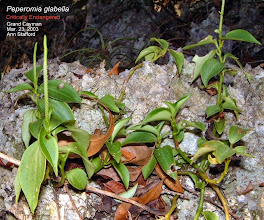 Photo: Peperomia glabella, Family: PIPERACEAE, Critically Endangered. Creeping or sometimes pendent herb with ALTERNATE leaves, palmately 3-nerved from the base. Grand Cayman, West Indies and continental tropical America, epiphytic or on rocks. Photo: Ann Stafford, Ironwood Forest, Grand Cayman, March 23, 2003. Flora of the Cayman Islands by George R. Proctor, 2012, p,230.