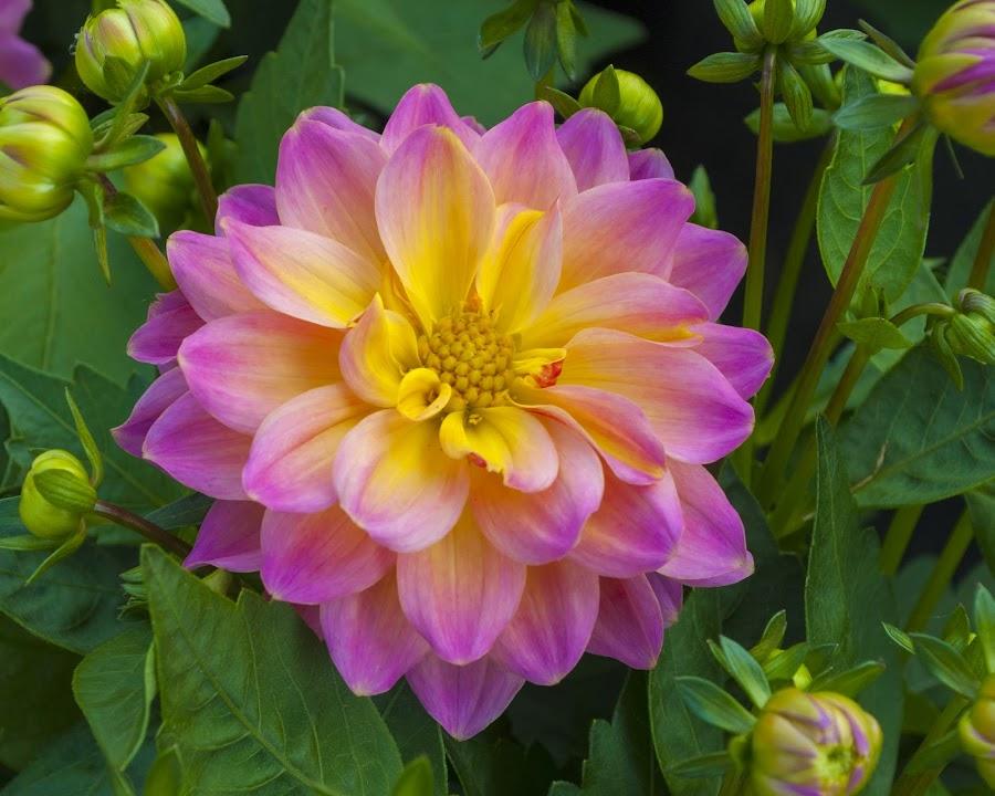 Dahlia  by Darren Carner - Flowers Single Flower