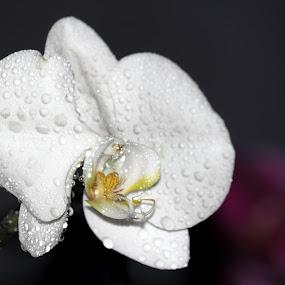 Phalaenopsis by Rizal Marsa - Flowers Flower Gardens (  )