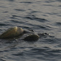 Sea turtles mating (video)