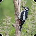 Woodpecker Live Wallpaper icon