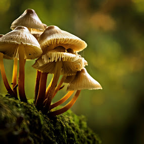 They huddled together for warmth. by Miguel Silva - Nature Up Close Mushrooms & Fungi ( wood, moos, miguel silva, nature up close, viseu, portugal, fontelo, light, bokeh, mushrooms )