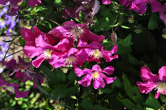 Photo: Clematis 'Remembrance' 2 proefvelden RHS gardens Wisley