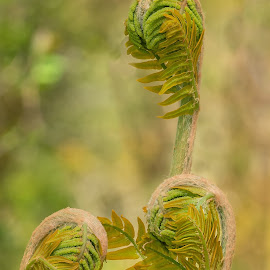 Trio Of Uncoiled Ferns by Barry Smith - Nature Up Close Other plants ( green, nature, ferns, nature up close, wild )