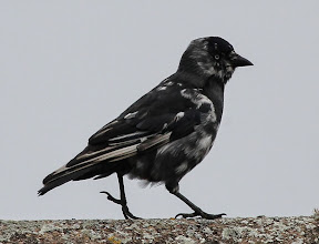 Photo: Trench A piebald Jackdaw on the roof of my house. (Dave Tromans)