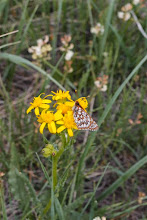 Photo: Butterfly on balsamroot. It was balsamroot that lured us onto the Syncro track.