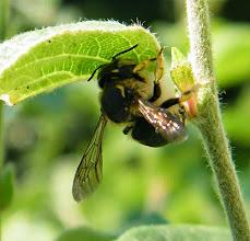 Photo: Anthidie récoltant du duvet sous une feuille de cognassier.