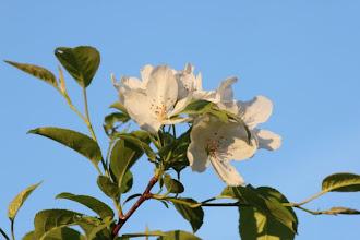 Photo: Crab apple blossoms