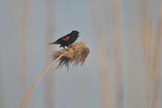 Photo: Red-winged blackbird.