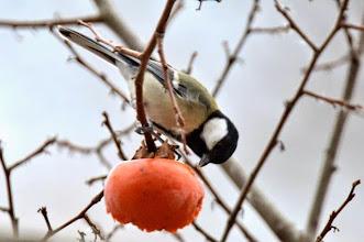 Photo: 撮影者:村山和夫 四十雀 タイトル:柿を食べる四十雀 観察年月日:2014年12月20日 羽数:2羽 場所:片倉の集いの森公園/調整池付近 区分:行動 メッシュ:八王子6G コメント:メジロを蹴散らしてやって来ました。