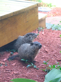 little woodchucks