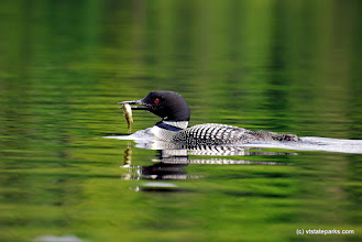 Photo: Loons are very common to hear from Ricker Pond State Park
