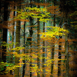 by Lazarescu Mihai - Landscapes Forests ( forest, woodland, autumn colours, autumn )