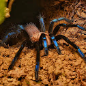 Blue-legged Tarantula