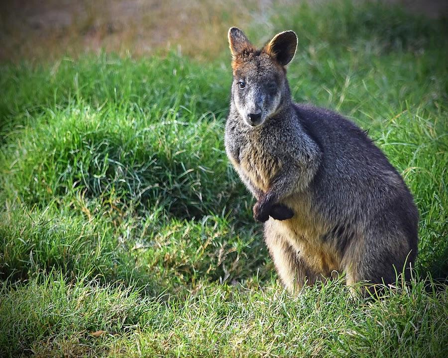 Wallaby by Dawn Hoehn Hagler - Animals Other Mammals ( litchfield park, wildlife world zoo, zoo, australia, arizona, wallaby,  )