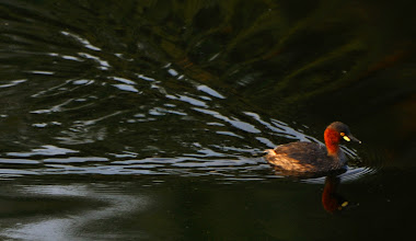 Photo: Little Grebe