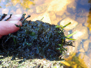 """Photo: More detailed image of """"The Gunk"""". It appears to be composed of masses of an aquatic liverwort, Riccia fluitans, lower layers decomposing."""