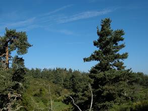 Photo: Les pins sylvestres de la Margeride. La Margeride (en occitan Marjarida) est une région montagneuse de France, située dans le Massif central aux limites des départements du Cantal, de la Haute-Loire et de la Lozère.