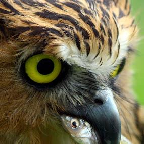 by Kanda Ridho - Animals Birds ( #owl )