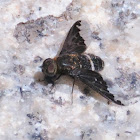 Black-Coated Bee Fly