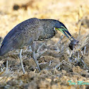 Bare-throated Tiger-Heron (eating a rat)