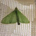 Large Milkweed Snout Moth