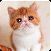 Talking Shorthair Cat