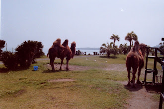 Photo: Bactrian camels looking out over the Pacific Ocean