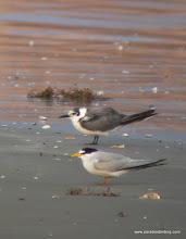 Photo: Least and Black terns, Quintana Beach, upper Texas Coast