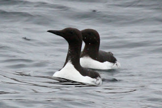 Photo: Common Murre