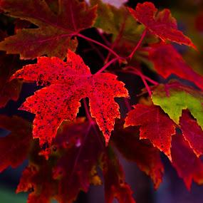 Fall by Kaushik Mitra - Nature Up Close Leaves & Grasses ( fall colors )