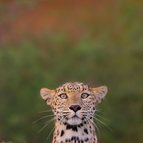 The Stare by Sharad Agrawal - Animals Lions, Tigers & Big Cats