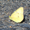Common Sulphurs