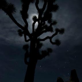 JTreeMoonlit by Dan Allard - Landscapes Starscapes ( moon, desert, pwcstars, silhouette, headstone, trees, joshua tree, rocks, moonlight,  )