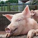 Sonidos de cerdo icon