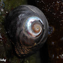 Black Turban Snail