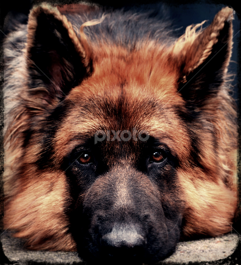 Chilling  by Chris Shaw - Animals - Dogs Portraits (  )